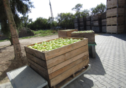 jabłka wskrzynkach