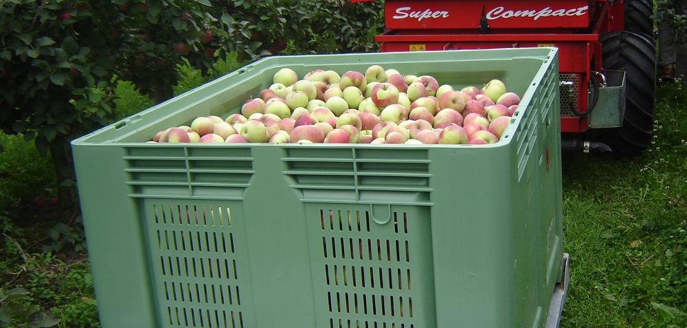 Zbiór jabłek – wyzwanie dla sadowników