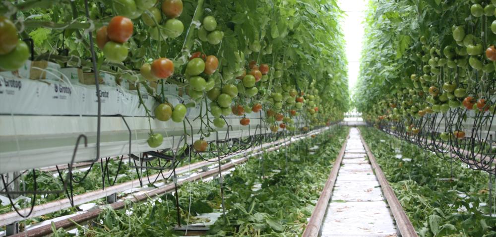 Botoma to dorodne izdrowe pomidory szklarniowe