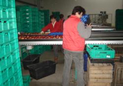 jabłka zRybna są sprzedawane do marketów