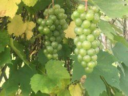 białe winogrono (zdjęcie Ewa Ploplis)