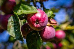 choroby przechowalnicze jabłek