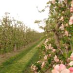 Ochrona drzew owocowych zaczyna się już wczesną wiosną
