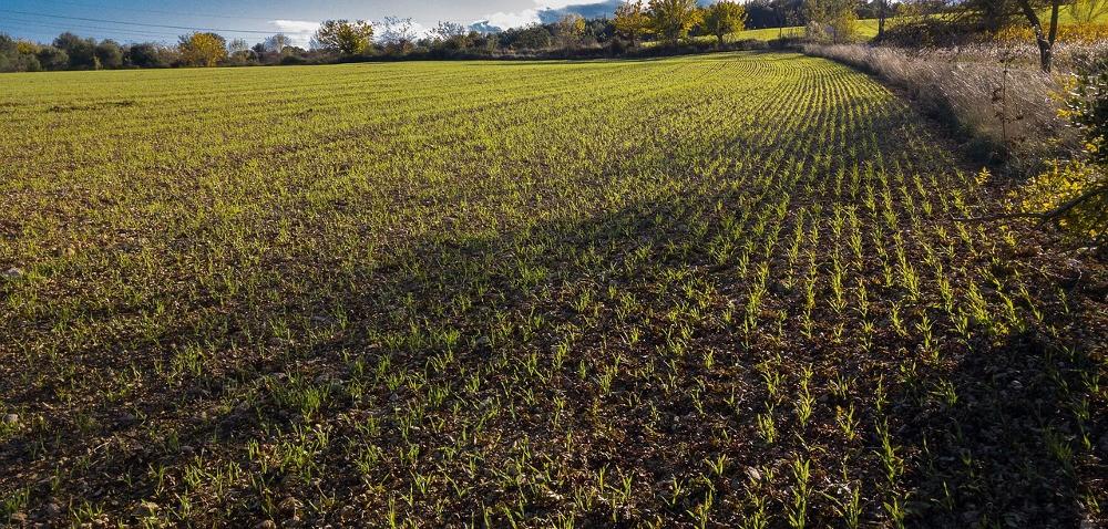 Bardzo kiepski stan zbóż ozimych irzepaku na północy