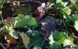 przebarwienia liści rzepaku