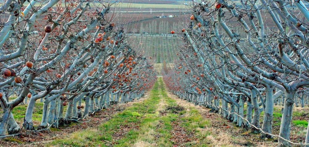 Nawożenie drzew owocowych – dobry czas to tuż po zbiorach