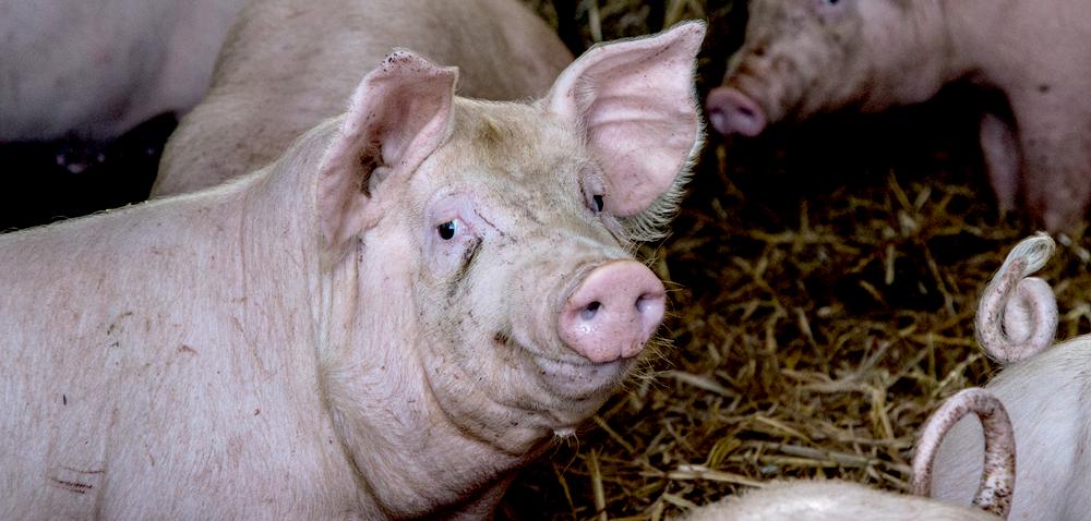 Eksport wieprzowiny zwiększa się