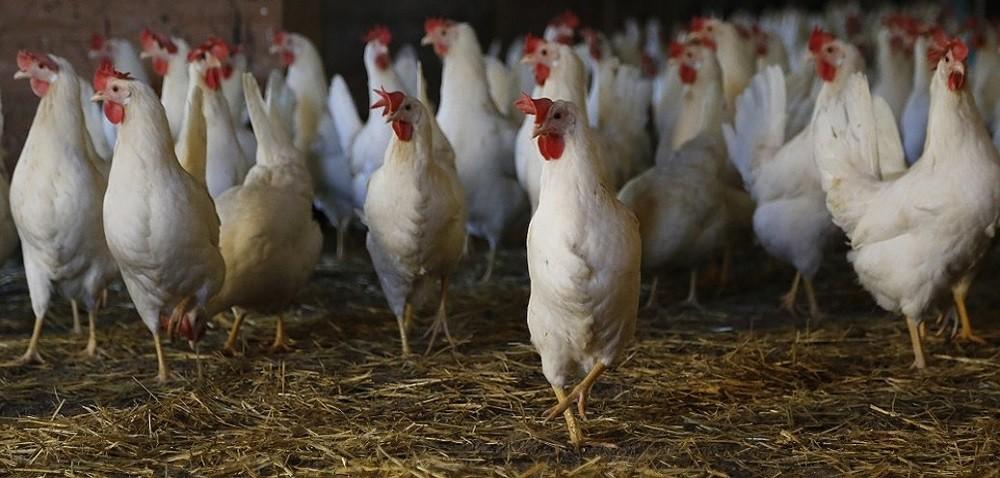 Eksport drobiu, mięsa iprzetworów drobiowych nadal zwiększa się