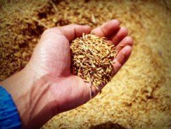 Produkcja pszenicy wRosji