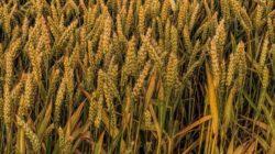 Ceny pszenicy stabilne