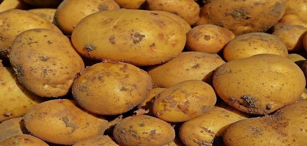 Zbiory ziemniaków na finiszu