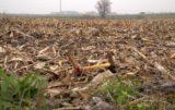 Prace polowe w listopadzie Kukurydza resztki pożniwne