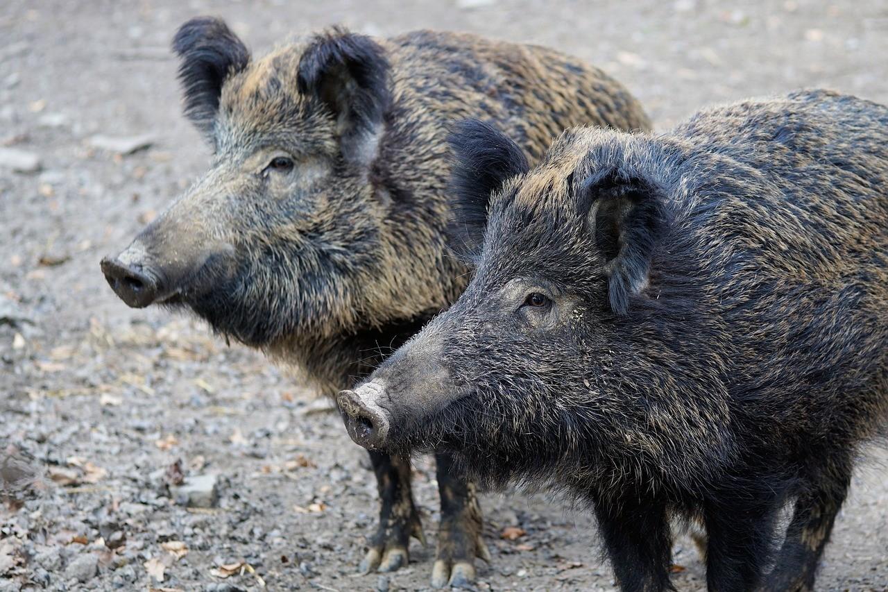 afrykański pomór świń zwalczanie