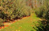 wapnowanie gleby w sadzie