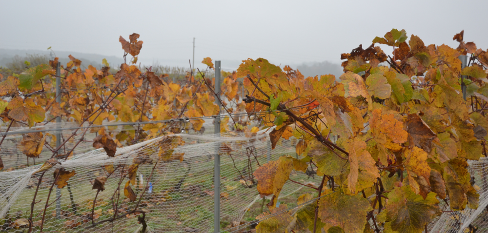 Winnica – tam marzenia dojrzewają wsłońcu imają smak wina