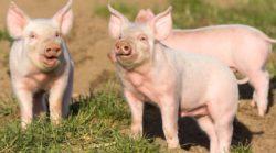 Nieoprocentowana pożyczka dla producentów świń