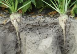 Burak cukrowy wymaga żyznej gleby