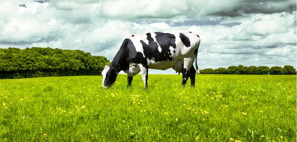 Wtórne metabolity roślinne wżywieniu krów mlecznych