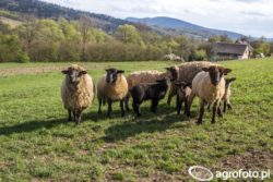 Stadko owiec