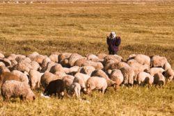 Pasterz zowcami