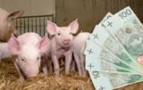 Pożyczka dla producentów świń