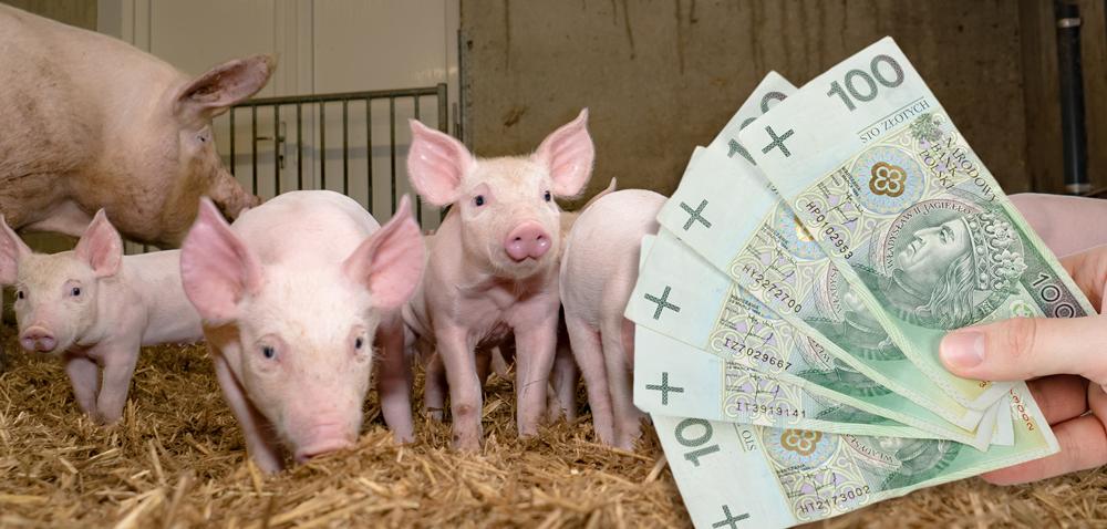 Nieoprocentowana pożyczka dla producentów świń zobszarów ASF!