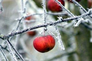 Ochrona sadu przed mrozem – zabezpieczenie drzew owocowych