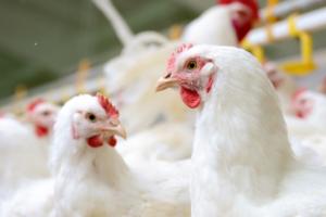 Polska pozostanie liderem wprodukcji drobiu?