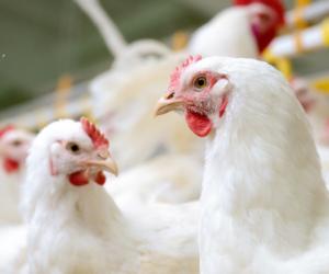 Eksport mięsa zPolski – drób, wołowina iwieprzowina
