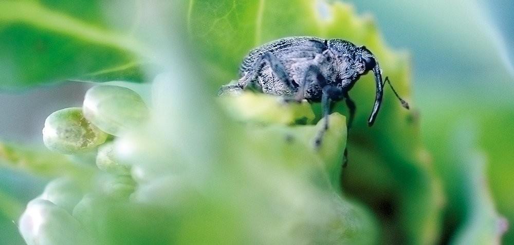 Kiedy zwalczać szkodniki łodygowe wrzepaku?