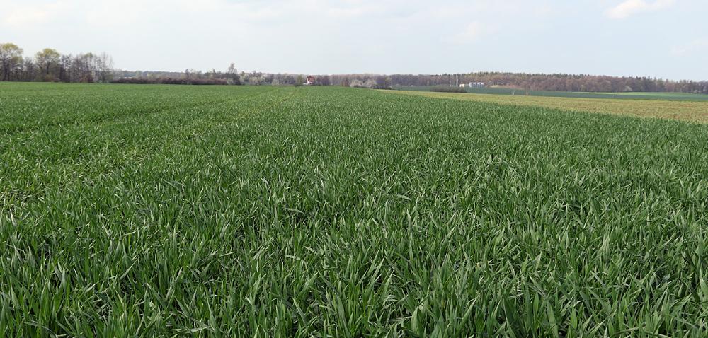 Fungicyd na zboża wspomagający wysokie plony!