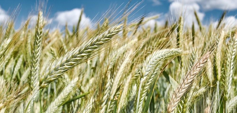 Lipcowa prognoza USDA – produkcja pszenicy wdół