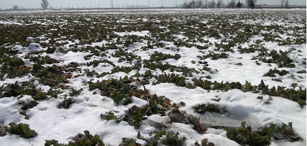 Przezimowanie rzepaku ozimego na Dolnym Śląsku