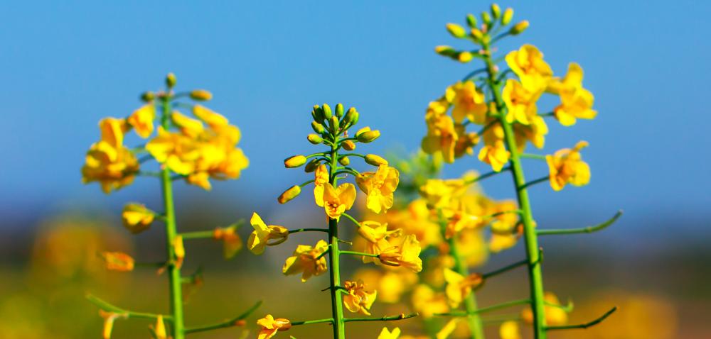 Fundusz Promocji Roślin Oleistych szuka zarządców [AKTUALNOŚCI]