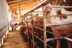 świnie wchlewni