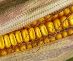 Zbiory kukurydzy2019 niższe niż rok temu