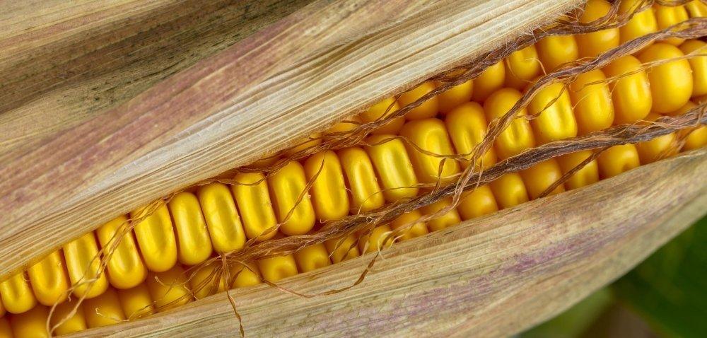 Produkcja kukurydzy wdół. Prognozy USDA