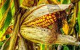kukurydza kolba typu flint