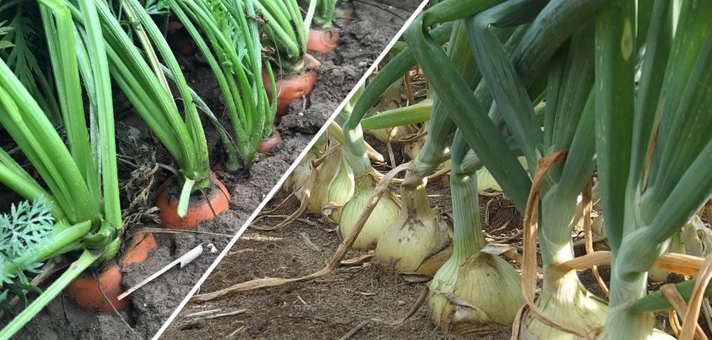 Dodatkowa korzyść wzwalczaniu alternariozy cebuli imarchwi!