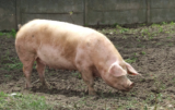 synchronizacja rui u świń