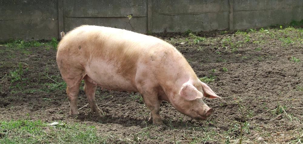 Hormonalne sterowanie rozrodem świń