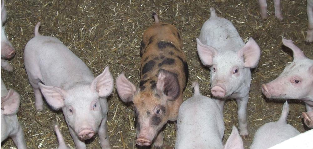 Błędy wrozrodzie świń
