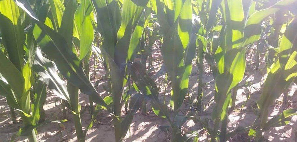 Najgroźniejszy szkodnik kukurydzy: stonka kukurydziana