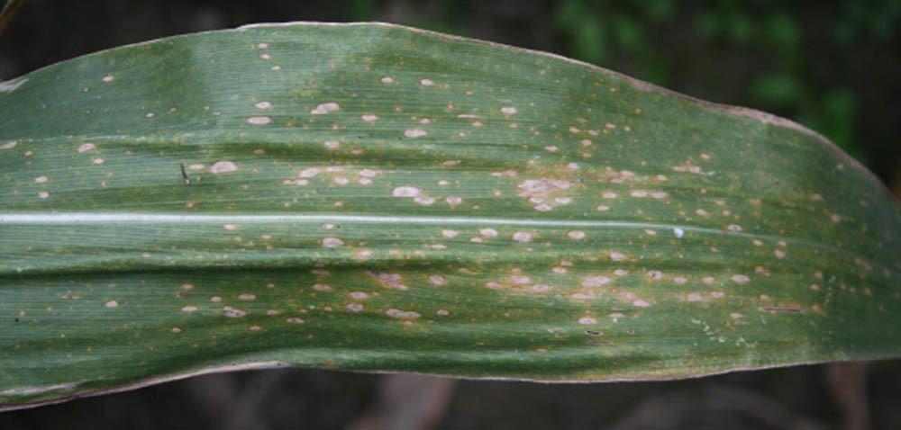 Ochrona kukurydzy przed chorobami – kiedy ijak