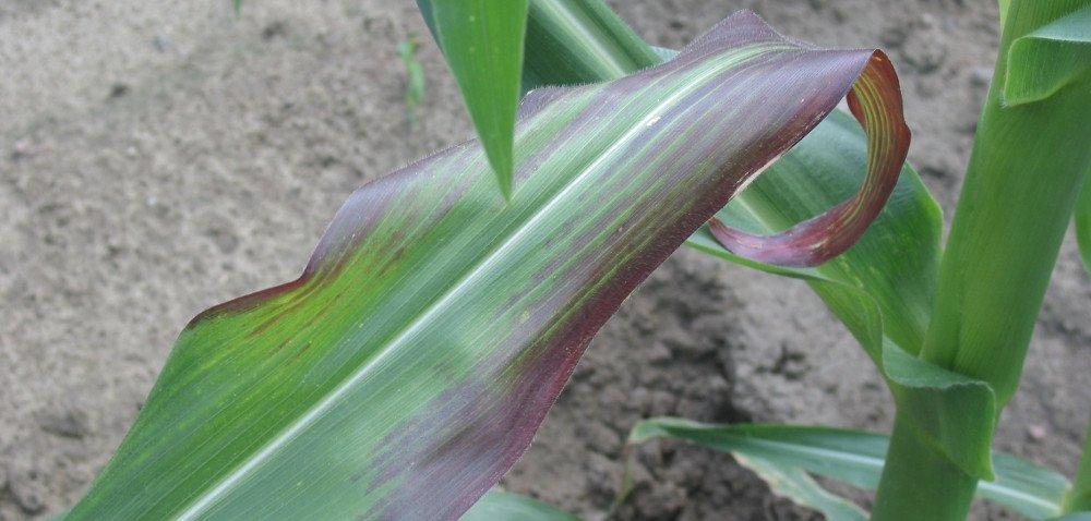 Wirozy kukurydzy