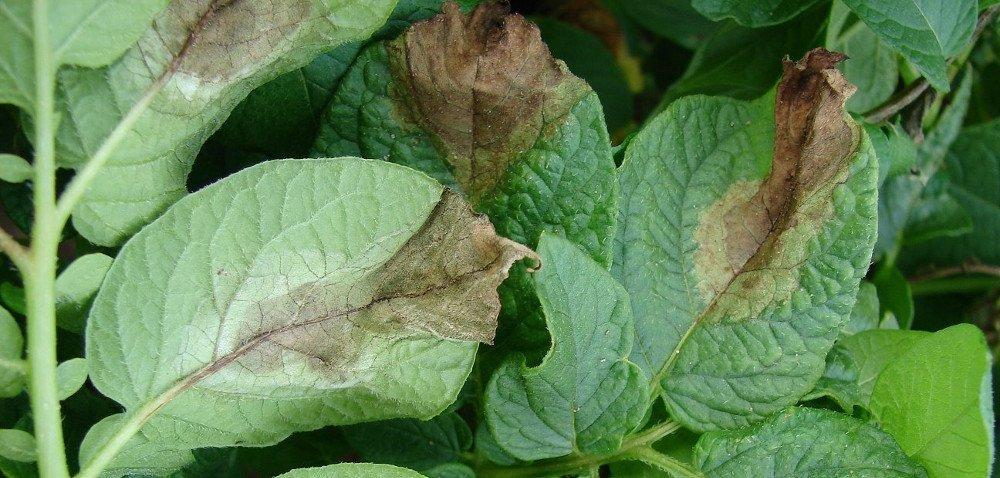 Zaraza ziemniaka – uciążliwa choroba grzybowa