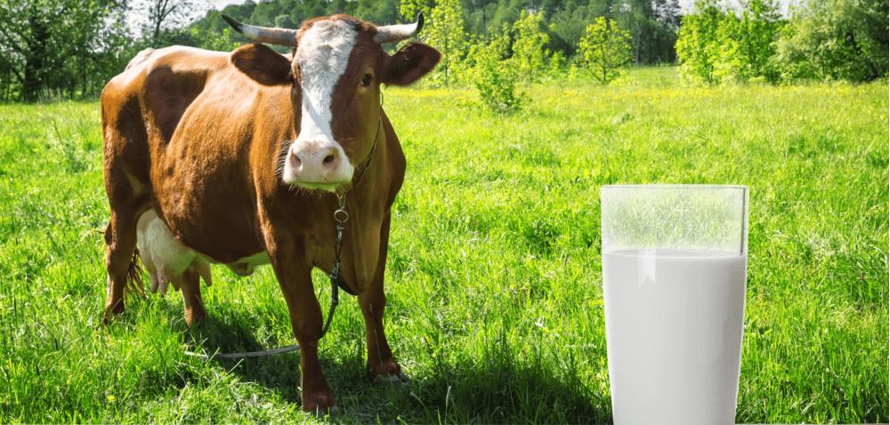 Skąd wziąć dużo dobrego mleka?