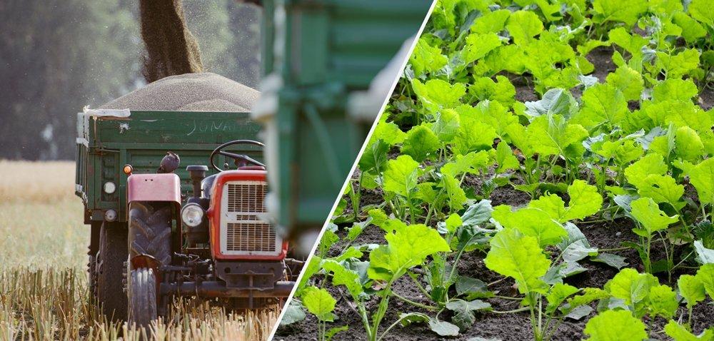 Ochrona fungicydowa rzepaku jesienią to fundament dla plonu!