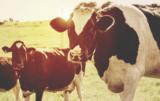 stres cieplny u krów