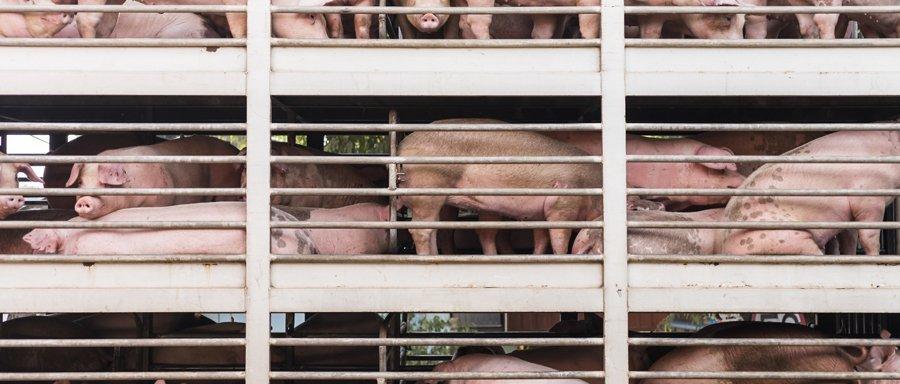 transport świń